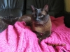 kot tonkijski - już po kąpieli
