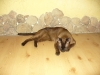 kot tonkijski - cicho bo śpię