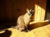 kot tonkijski w słońcu
