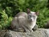 kot tonkijski - pierwszy dzień słońca.