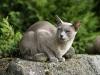 kot tonkijski - nie wstanę tak będę siedziała.