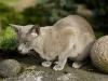 kot tonkijski - ale mnie zdenerwował