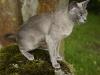 kot tonkijski - znowu kamień