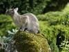 kot tonkijski - może wróbel