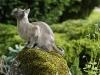 kot tonkijski - jakiś ptak może?