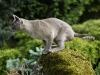kot tonkijski - idę sprawdzić