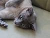 kot tonkijski - leże i czekam na drapanie.
