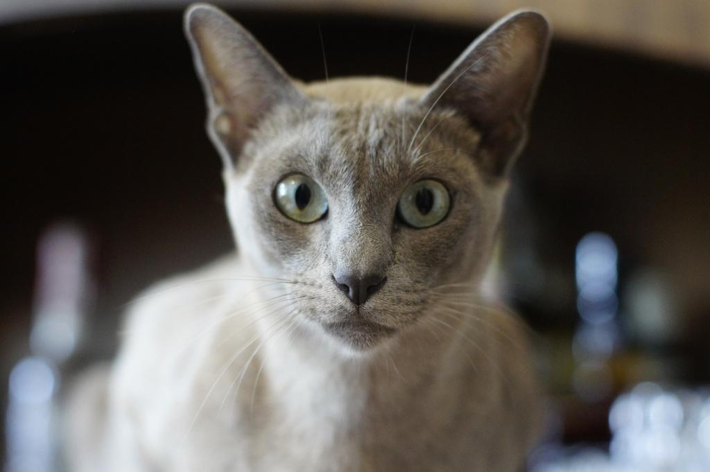 hania -kotka rasy tonkijskiej