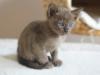 kotka tonkijska - Ifigenia - ale jedzenia nie podają