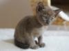 kotka tonkijska - Ifigenia - ciekawe co będzie na obiad?