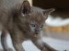 kotka tonkijska - Ifigenia - może ryby podadzą