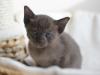 kotka tonkijska - Ifigenia - albo jakiegoś kuraka