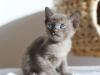 kotka tonkijska - Ifigenia - ale będzie wyżerka