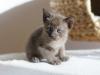 kotka tonkijska - Ifigenia - tylko żeby mnie Ifikles nie ubiegł