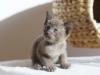 tonkijska kotka - Ifigenia - bo ostatnio to pawie całe mleko wytrąbił