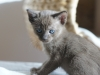 kotka tonkijska - Ifigenia - trzeba będzie go wyprzedzić