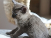 kotka tonkijska - Ifigenia - może Ismena coś wymyśli