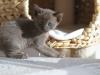kotka tonkijska - Ifigenia - tylko gdzie ona jest