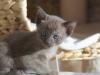 kotka tonkijska - Ifigenia - może już zaczęła obiad