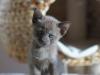 tonkijska kotka - Ifigenia - zgłodniałam od tego knucia