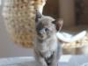 tonkijska kotka - Ifigenia - poszukam mamę