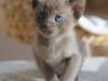 tonkijska kotka - Ifigenia - tam pewnie kręci się reszta