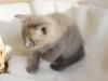 Iris - kot rasy tonkijskiej