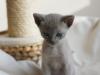 Irman - kotek tonkijski - patrzę