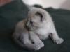 Irman - kotek tonkijski - oglądam tył