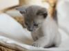Irman - kotek tonkijski - łapka