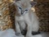 Irman - kotek tonkijski - w kącie