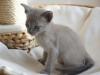 Irman - kot tonkijski - dla dzieci