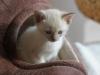 zzdjęcie kota - rasa tonkijska - ismena