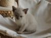 zdjęcie kota - rasa tonkijska - ismena