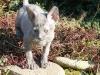 Cornish Rex - kamień