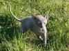 Cornish Rex - zobaczę co w trawie piszczy