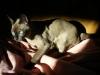 kot tonkijski w pościeli