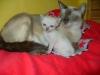 koty tonkijskie - najlepiej u mamy