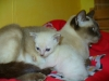 koty tonkijskie - a mleka to już nie ma?