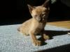 kot tonkijski - kiedy już dorosnę to też będę łapał myszy