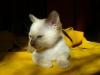 kot tonkijski - idę chyba spać