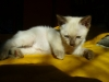 kot tonkijski - lubię tak cały dzień