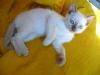 kot tonkijski - no i leże