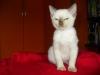 kot tonkijski - baczność!