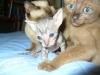 koty tonkijskie - bracia