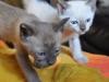 koty tonkijskie - razem będzie raźniej