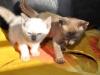koty tonkijskie - ko ko ko ko euro spoko