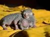 cornish rex - jakie małe