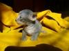 cornish rex - małe jest piękne
