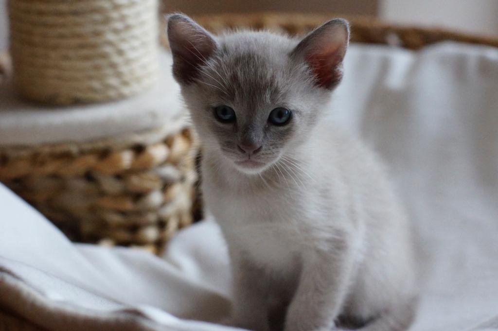 Ifikles  kot rasowy